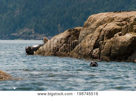 Seals Relaxing Ona Rocks Near Water