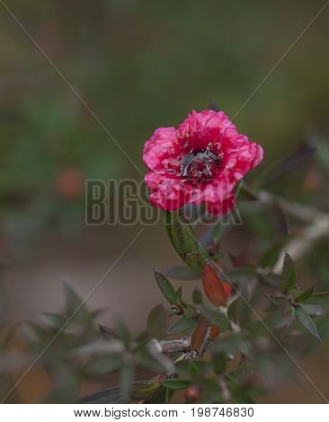 Ruby red flower of Leptospermum Burgundy Queen on dark background suit condolences card