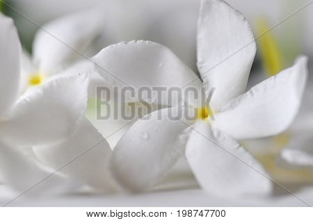 Macro shot of Crape Jasmine or Tagar flower of Indian subcontinent over white background