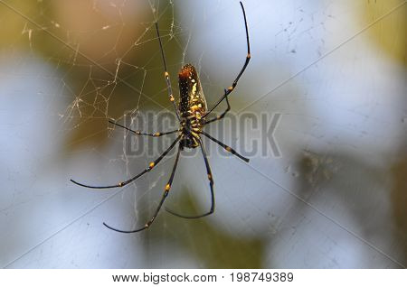 Indian golden orb spider in a web