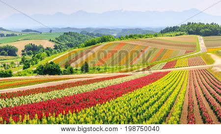 Panoramic Colorful Flower Field In Summer, Hokkaido Japan