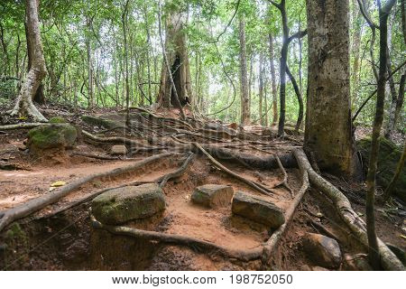Rainforest jungle canopy in Siem Reap on the way to Kbal Spean the mystery waterfall on Kulen mountains range of the ancient Khmer empire in Siem Reap province of Cambodia