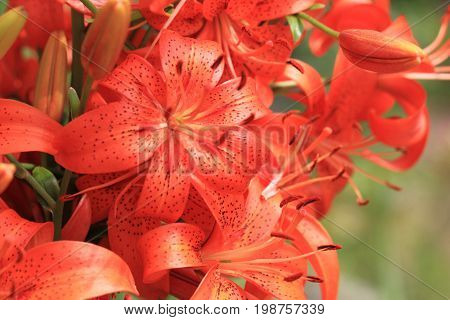 Orange Lilly Flowers
