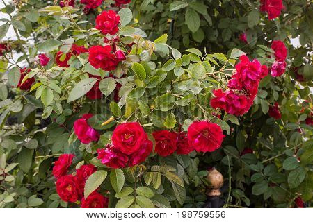 eautiful red roses bush in garden at summer day