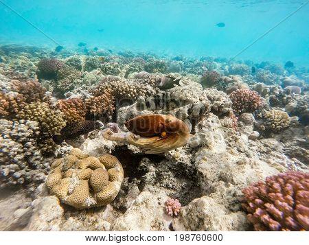 Reef Octopus (octopus Cyanea) Swim On Coral Reef
