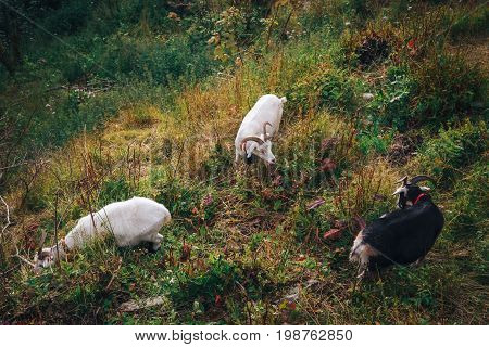 a mountain goats looks at the landscape