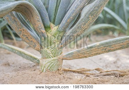 White onion bulb for dehydrated food industry. Closeup. Guadiana Meadows Badajoz Spain