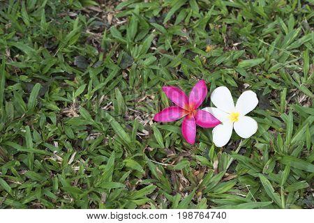 Plumeria Flowers On The Grass