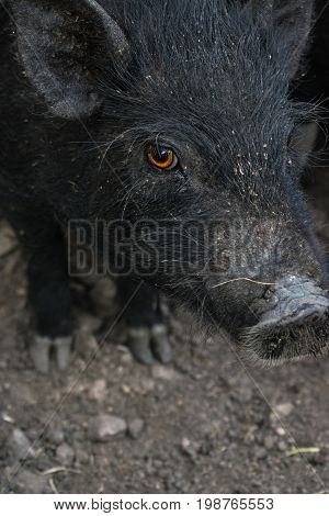Pig on the farm a pig's gaze