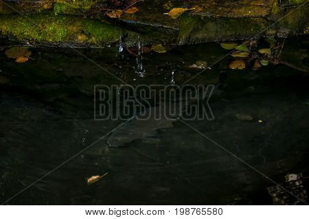 Carp in a pond a garden pond with fish a waterfall in a garden pond