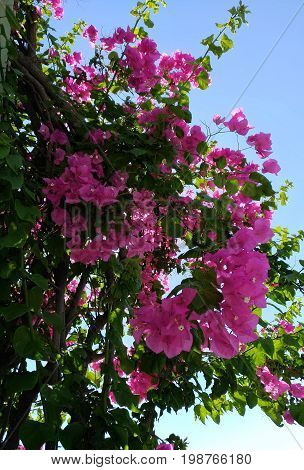 Lesser bougainvillea (Bougainvillea glabra), bougainvillea flowers Large lush decorative bush with bright crimson flowers and green leaves against a blue sky background