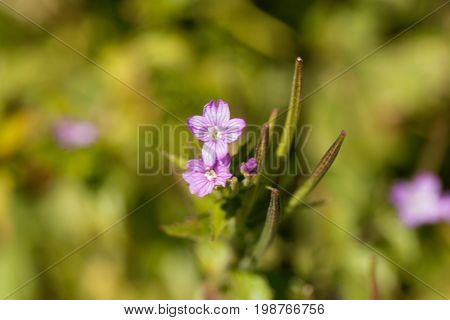 Flowers of the willowherb (Epilobium alpestre) a wild plant in the Alps in Europe.