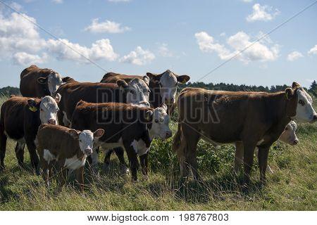 Laesoe Denmark - July 28 2017: A herd of free range cows on green pasture farmland in rural Laesoe island Denmark.