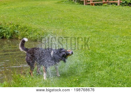 dog shaking off water after swimming in a lake
