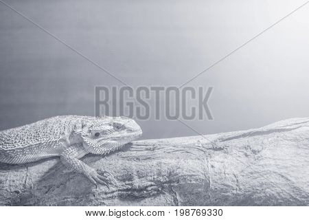 Closeup chameleon cling on the timber on blurred wood wall textured background in black and white tone with copy space