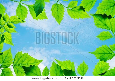 Closeup beautiful blue sky at the center of frame by green leaves isolated on white background
