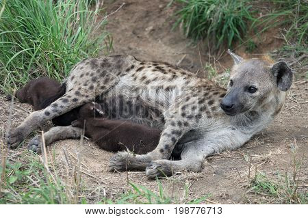 Hyena feeding puppies. African spotted hyena and two cubs. Kruger Park South Africa