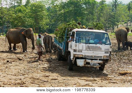 PINNAWALA, SRI LANKA - MAY 18, 2011: Unidentified people bring food to elephants in Pinnawala Elephant Orphanage.