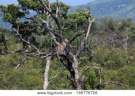 The leopard and the dove. African leopard in a tree looking at the dove on the branch. Kruger Park South Africa