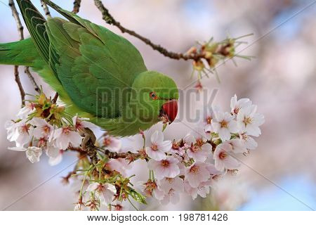 A Rose ringed parakeet eating from blossom
