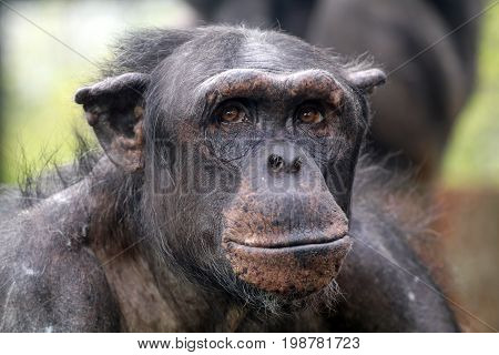 Portrait of a Chimpanzee with a blurry background