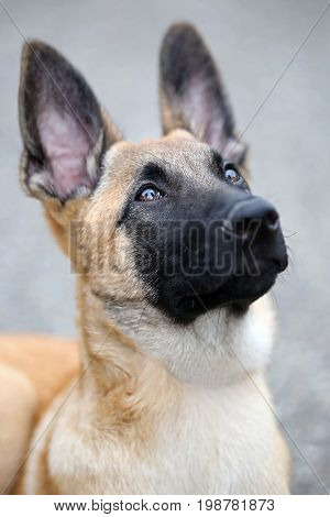 Portrait of a Belgian Shepherd with a blurry background