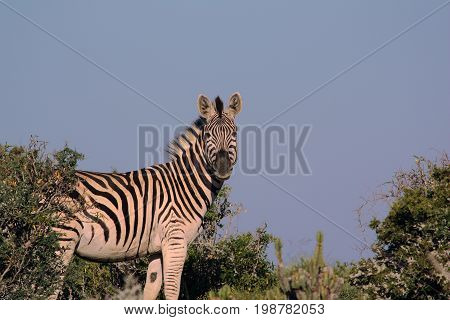 African Zebra in the Savannah of South Africa during a hunting Safari