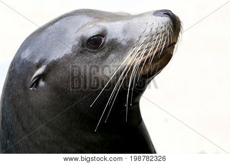 A Sea Lion portrait with a white background