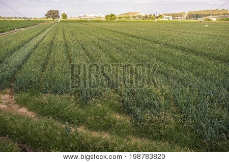 Onions field for dehydrated food industry at sunset. Badajoz Spain