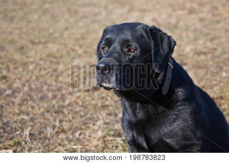 Dog Labrador Retriever black sitting looking to the side.