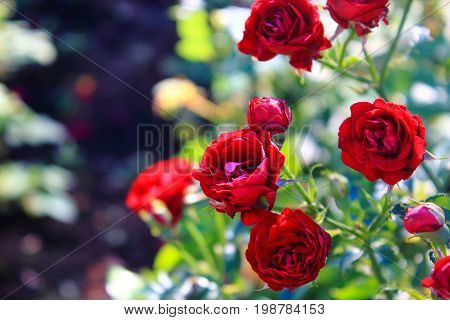Small Red Roses in the garden. Beautiful red roses for the calendar. Bouquet of small red roses. Dark red roses on the bushes. Landscaping. Care of garden roses shrubs. Wallpaper for desktop, foto for calendar