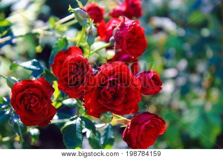 Small Red Roses in the garden. Beautiful red roses for the calendar. Dark red roses on the bushes. Bouquet of small red roses. Landscaping. Care of garden roses shrubs. Wallpaper for desktop, foto for calendar