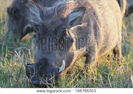 Warthog African wild pig. Adult female African warthog with fangs eats grass in the Bush. In Zimbabwe Africa.