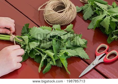 Girl bind of melissa officinalis in bundles for drying. Harvesting medicinal plants. Used in herbal medicine and cooking. Melissa scissors and twine on brown wooden table
