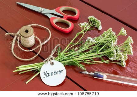 Bundle of yarrow (achillea millefolium) with label and inscription pen scissors and twine reel on old brown wooden table. Yarrow has anti-inflammatory and antiseptic properties