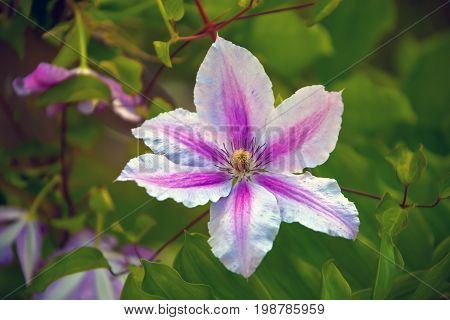 Decorative flowering vine clematis. Flower Corolla petals stamens and pistil of the plant clematis. Flowerbed garden perennial vine of the Buttercup family.