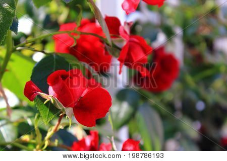 Rose Bush in the garden. Pink and red roses on the bushes. Landscaping. Caring for garden shrubs