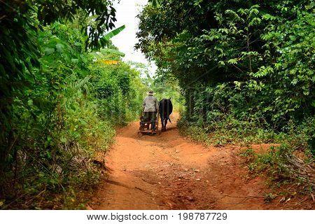 Cuban farmer moving on the primitive sleigh harnessed into two oxen in the Valley de Vinales Cuba Pinar del Rio province