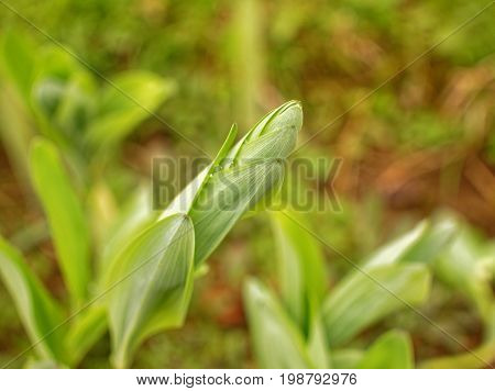 unblown Lily in the garden in the spring, Russia