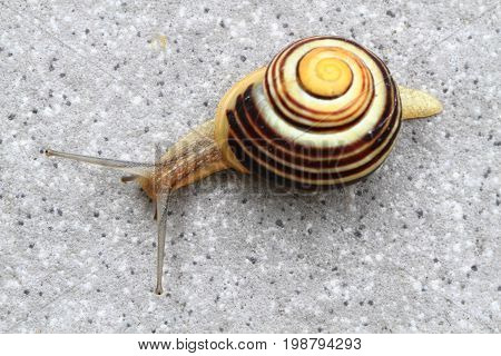 Small Striped Snail