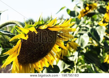 Sunflower Growing On The Field In Summer