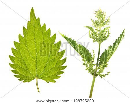 Stinging nettle (Urtica dioica) with flowers and green leaf isolated on white background. Medicinal plant