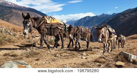Caravan of mules in nepalese Himalayas, Nepal