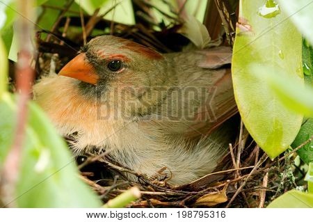 A female cardinal is sitting in her nest hours after her baby chicks hatched