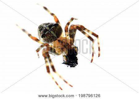 Spider Is Eating Fly