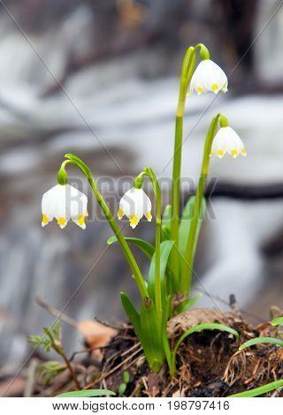 Spring Snowflake Summer Snowflake or Loddon Lily - Leucojum vernum