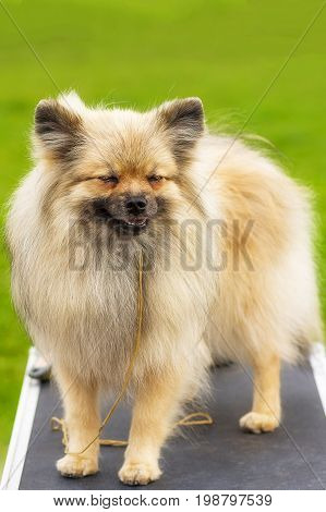 Laughing dog Pomeranian Spitz, green background. Space under the text. 2018 year of the dog in the eastern calendar Concept: parodist dogs, dog friend of man, true friends, rescuers.