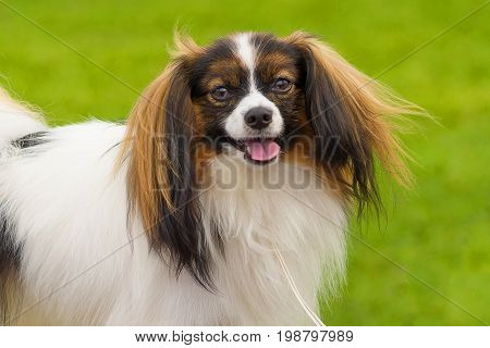 Pekingese, green background. Space under the text. 2018 year of the dog in the eastern calendar Concept: parodist dogs, dog friend of man, true friends, rescuers.