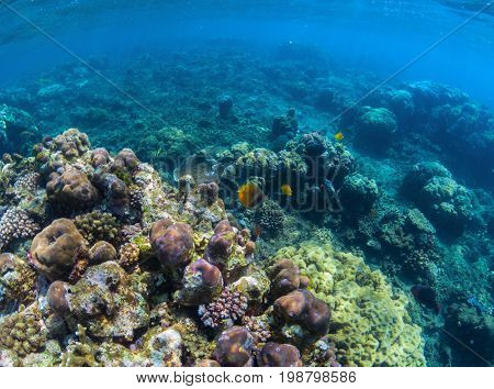 Underwater coral reef perspective landscape. Oceanic biosphere. Tropical fishes in wild nature. Blue sea water wildlife. Coral reef ecosystem. Marine fauna. Tropical snorkeling. Aquarium background