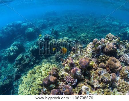 Undersea coral reef perspective landscape. Oceanic biosphere. Tropical fishes in wild nature. Blue sea water wildlife. Coral reef ecosystem. Marine fauna. Tropical sea snorkeling. Aquarium background